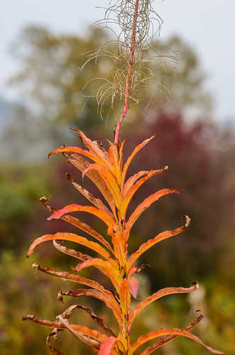 Flaming Fall Fireweed Foliage