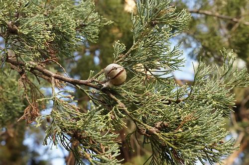 Callitris glaucophylla 130520-8155