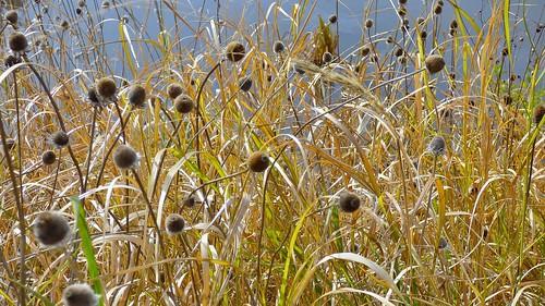 november cambridge plants weeds wildlife massachusetts marsh alewife jaym cambridgemassachusetts 2013 alewifebrook mahler9 alewifebrookwildlifereservation