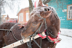 donkey(0.0), vehicle(0.0), animal(1.0), mane(1.0), mule(1.0), winter(1.0), halter(1.0), bridle(1.0), pack animal(1.0), horse(1.0),