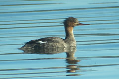 Red-breasted Merganser, 6/18/2013, Paxson Lake, AK