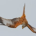 Red Kite, Watlington, reworked. Explored 20.02.14. Thank you.