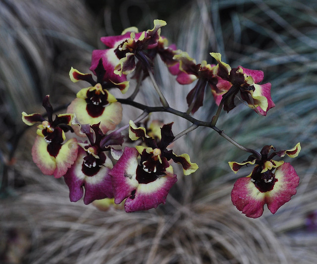 East Conservatory (Woodland Orchid Display) (5)