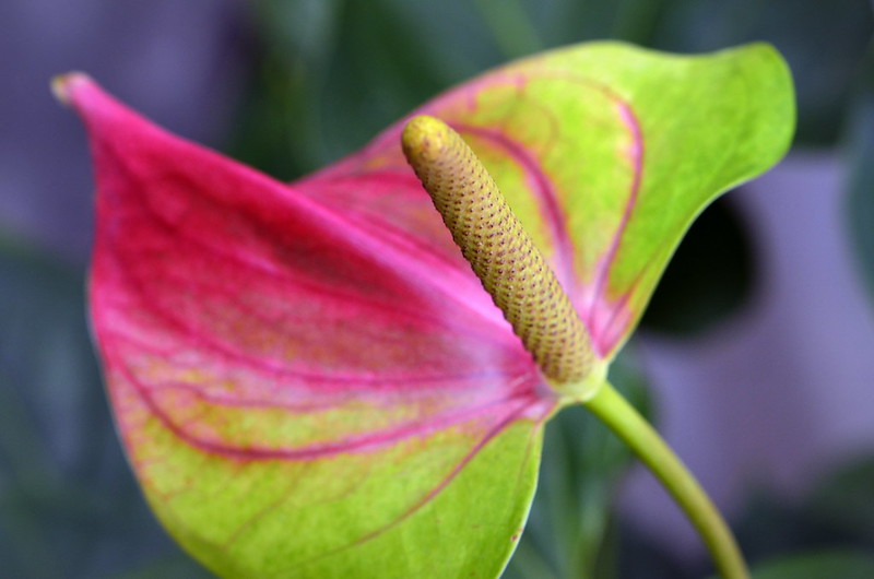 Anthurium watermaliense Hort. ex L.H. Bailey & Nash, Anthurium ...