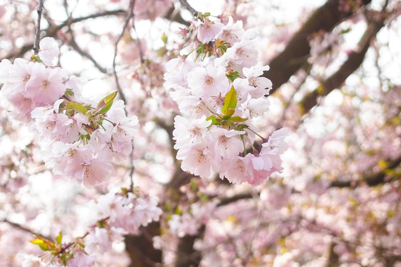 P3301640_kirschblüten