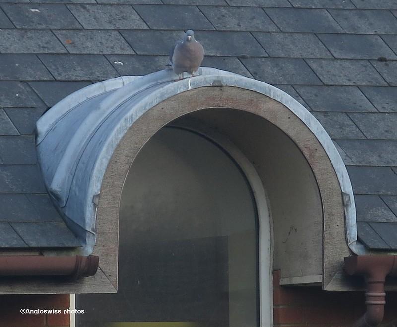 English pigeon