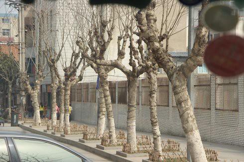 包括房縣的行道樹,也是由大量的樹木移植,幾乎整個房縣市區就是移植樹木的大賣場。