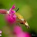 Broad-Boarded Bee hawk-Moth by Trevsbirds