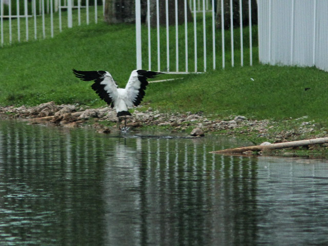 Wood Stork 3-20150808