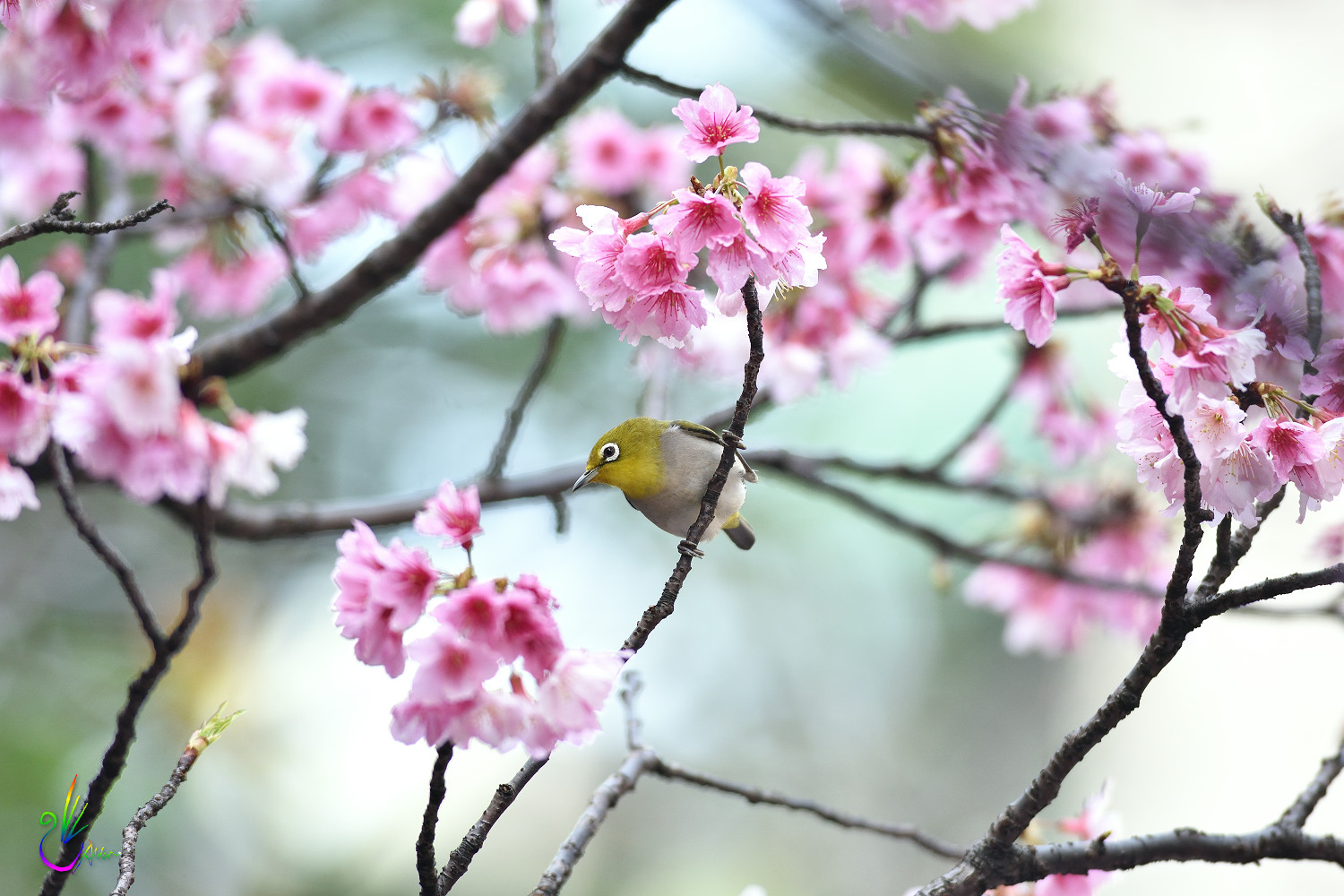 Sakura_White-eye_4813