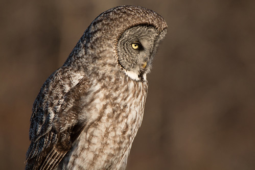 Focused Great Gray Owl