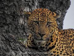 Leopard Watching Us