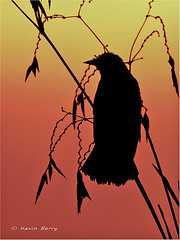 Red-winged Blackbird at sunrise by Kevin B Photo