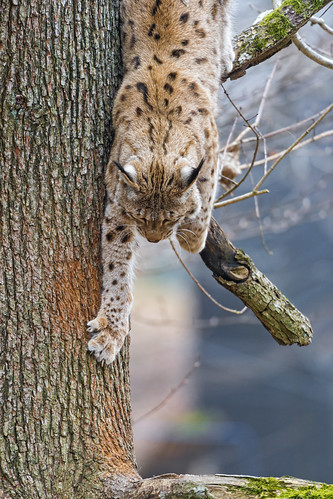Lynx getting down the tree by Tambako the Jaguar