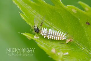 Ladybird larva? - DSC_4350
