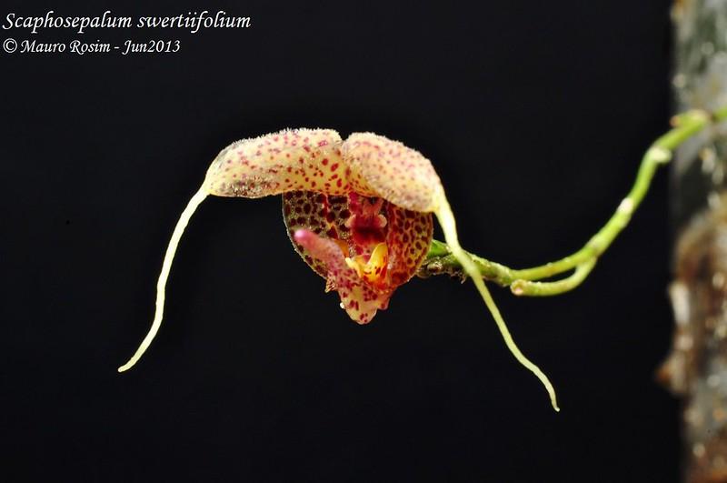scaphosepalum swertiifolium 8977826652_8bcb4c3bb4_c