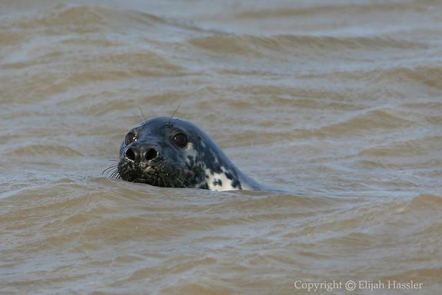 Grey Seal at Horsey