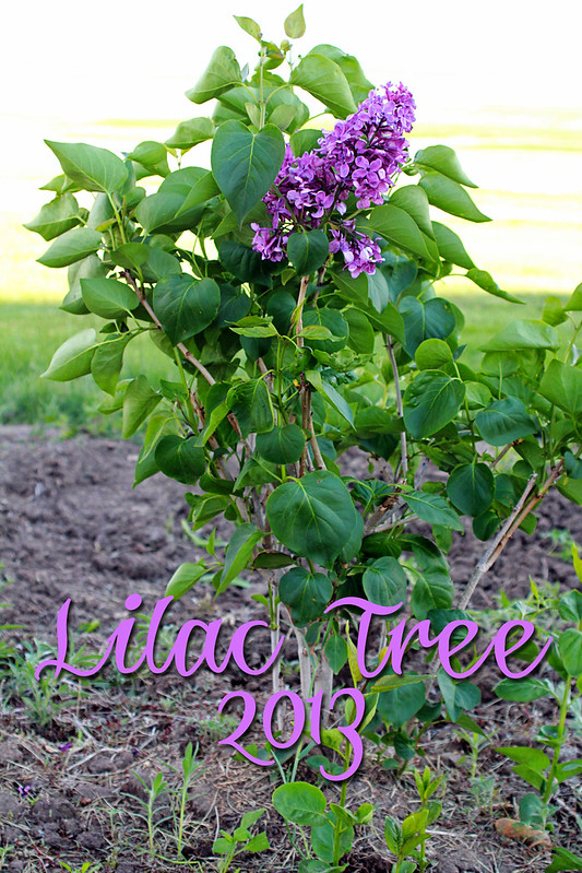 Lilac Tree 2013