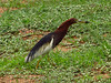 chinese-pond-heron4