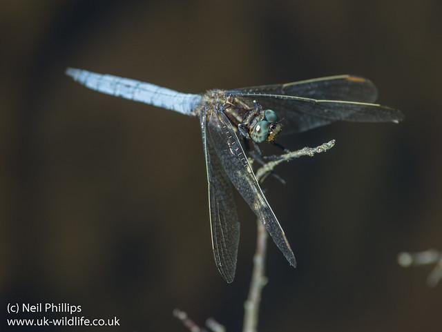 keeled skimmer dragonfly Orthetrum coerulescens