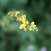 Small photo of Agrimony (Agrimonia eupatorium)