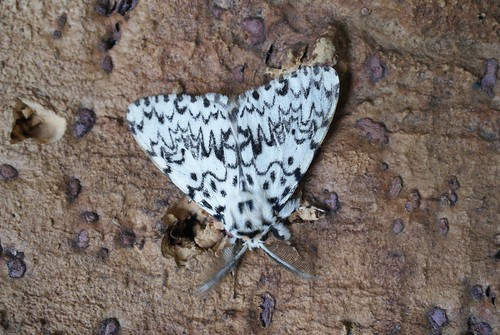 Black Arches (Lymantria monacha)