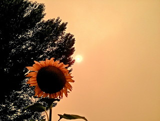sun & sunflower