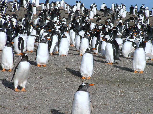 © FIG, Falklands Penguins - Gentoo