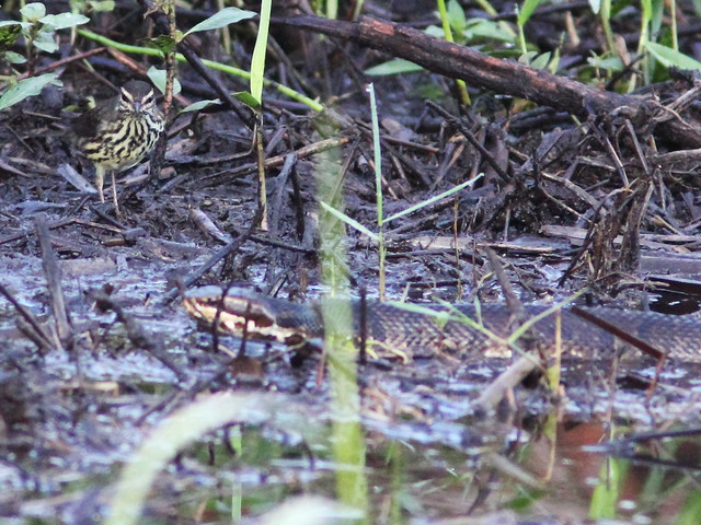 Northern Waterthrush with Cottonmouth 07-20131008
