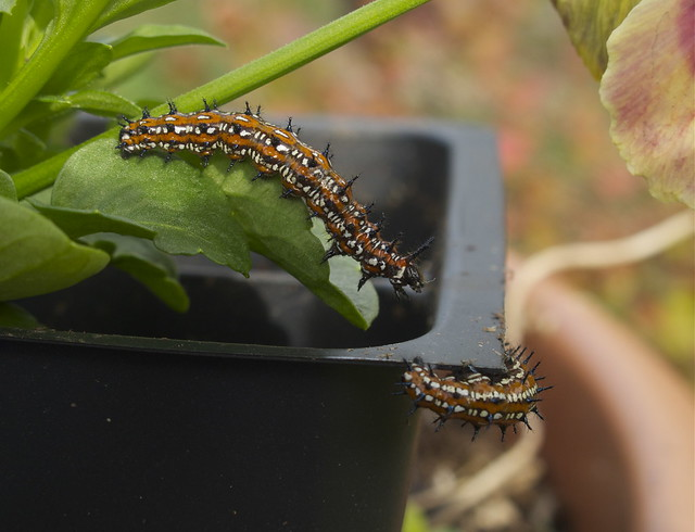 Found two Variegated Fritillary cateperpillars at work today.. Brought them home to raise
