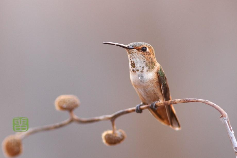 Allen's Hummingbird 111513
