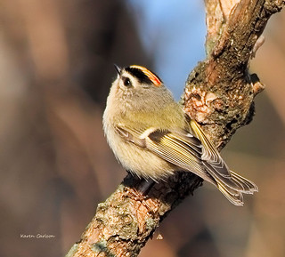 Angry Golden Crowned Kinglet