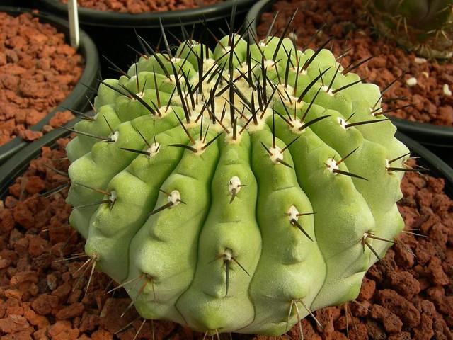 Copiapoa in cultivation 11740059206_fc985f5d12_z