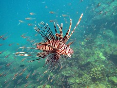 Snorkeling the Surins- lion fish