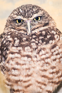 Burrowing Owl 3-0 F LR 2-9-14 J054