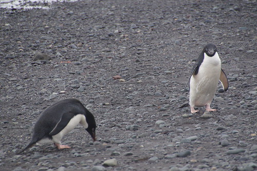 316 King George Island - Carlini station Adeliepinguins
