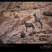 Desert Bighorn Sheep by enlightphoto