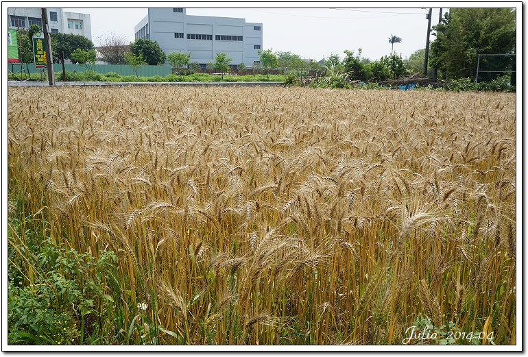 小麥田 (2)