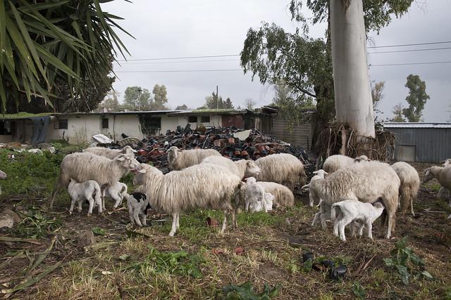Investigación de Igualdad Animal en granjas y mataderos de corderos