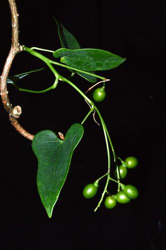 Tinospora smilacina DSC_0576 (2)