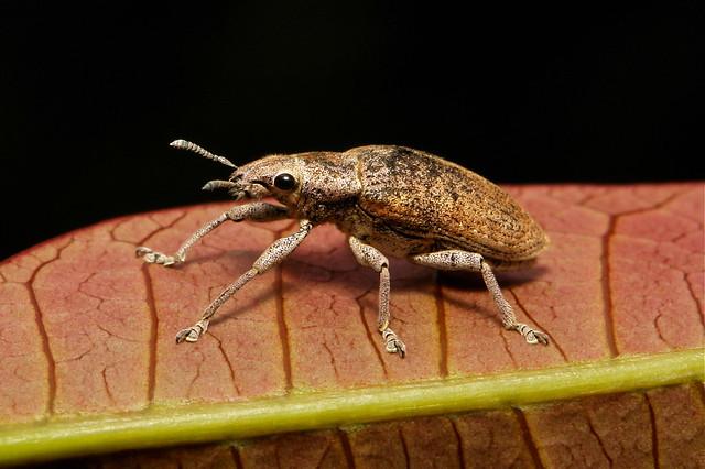 Gold Dust Weevil (Hypomeces squamosus, Curculionidae)