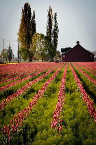 04-17-14 Old Barn and Tulips