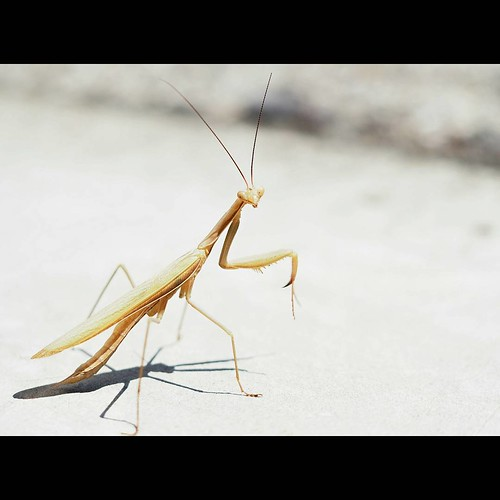 #firstpicture  from #ardeche #france.#summerholidays #prayingmantis #lookingatme . #macro #closeup #photography with #olympuscamera #omd #markii #insect #bigeyes #nature #travel #home