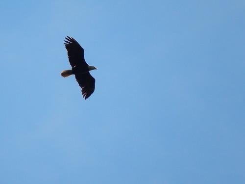 Bras dOr Lake -Bald eagle