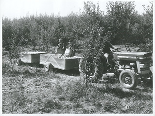 Apples being towed away to the packing shed, Nelson District