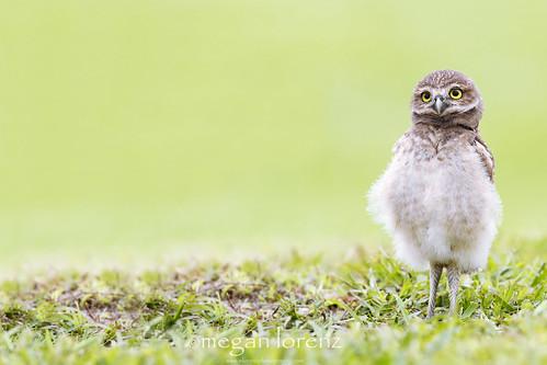 Curious Owlet by Megan Lorenz