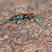 IMG_5872 - Version 2 tiger beetle by Troup1