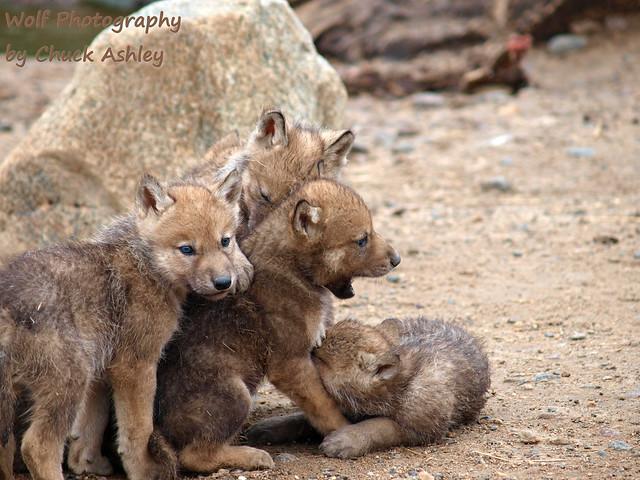 2013-06-09 Fur-Ever Wild Wolf Pups-5 weeks W 169