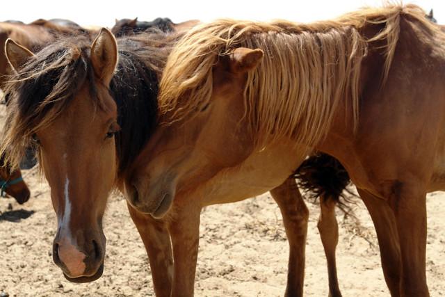 Se dice que todos los caballos de Mongolia son descendientes del caballo que galopó el gran emperador Gengis Khan y que llevó a la gloria a todos los Mongoles. El entorno sagrado de las dunas Mongol Els de Mongolia - 9056723267 950f592c10 z - El entorno sagrado de las dunas Mongol Els de Mongolia