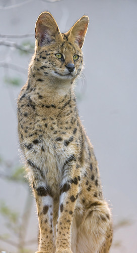 Standing serval by Tambako the Jaguar